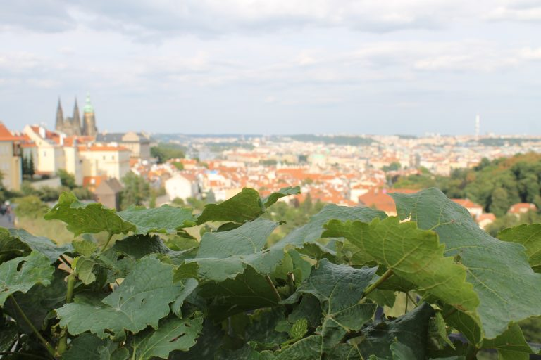 In addition to draught beer, Bohemian wine is now more popular than ever. It is no surprise then that even the Czech capital is surrounded by romantic vine-covered hills.