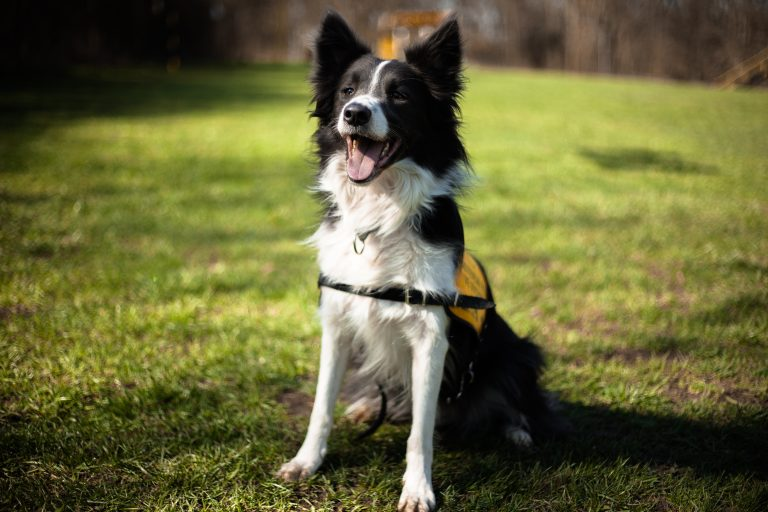 A border collie TOBI